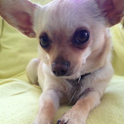 Gadget_Chihuahua