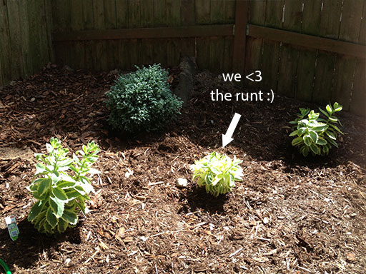 diy landscaping: shrubs? shrug