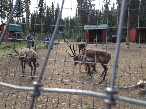 north pole, alaska reindeer pen