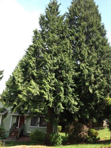 Tree Removal Cutting Down The Hemlock