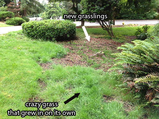 diy landscaping: grass seed starting to sprout